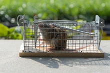 Mouse Caught In A Non-hurt Cag...