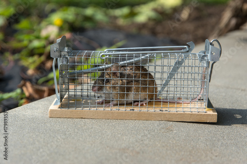 mouse caught in a non-hurt cage trap