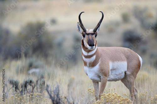Poster Antilope Antelope pose