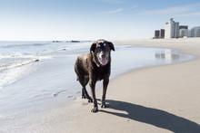 Elderly Chocolate Labrador Dog...