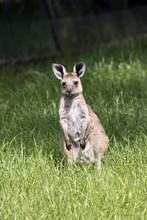 Eastern Grey  Joey Kangaroo