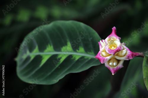 Korbmarante (Calathea warscewiczii)