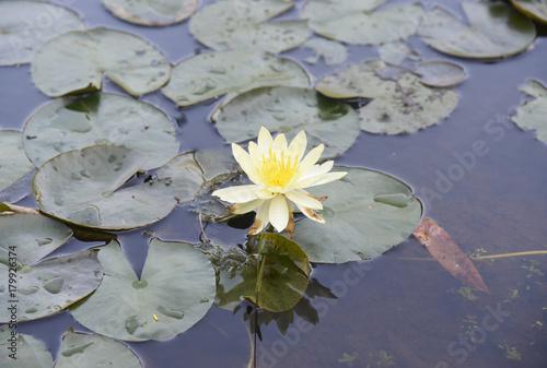 Deurstickers Waterlelies Florecer