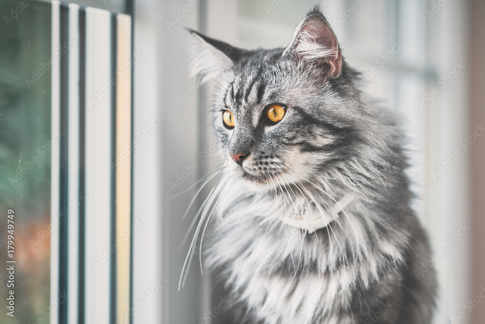 Photo & Art Print Vintage style photo from a beautiful Maine Coon