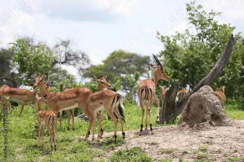 Wild Impala Antelope in African Botswana savannah Poster