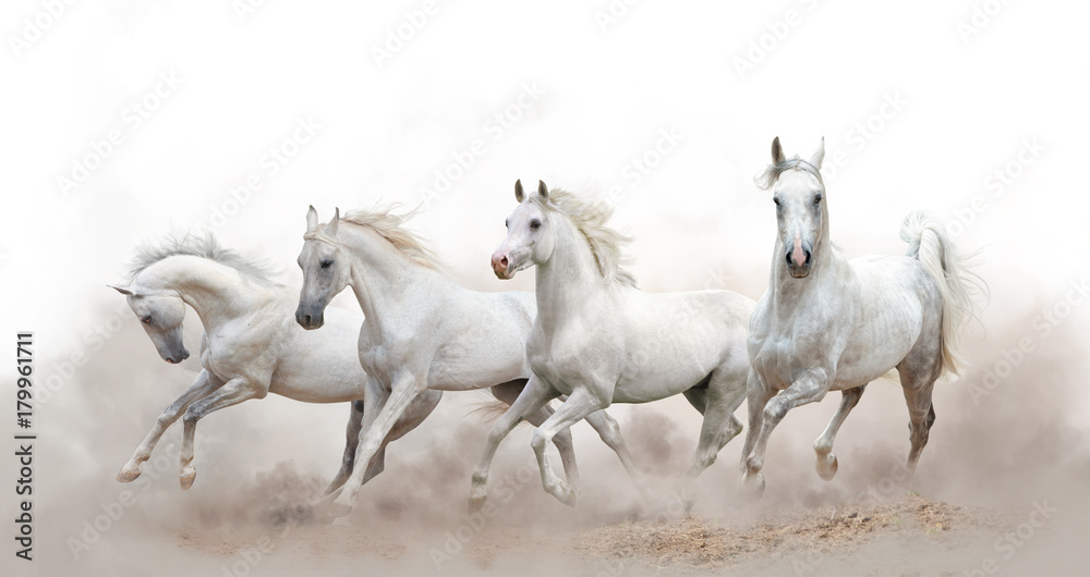 Fototapety, obrazy: beautiful white arabian horses running over a white background