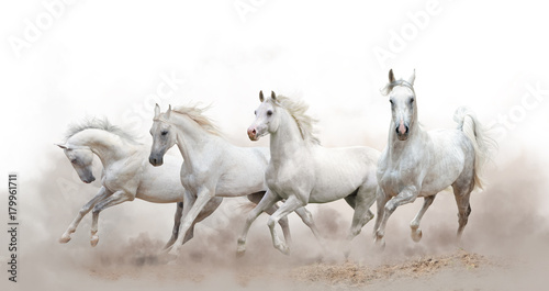Fototapeta beautiful white arabian horses running over a white background obraz