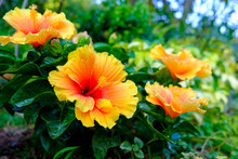 Colorful Hawaiian Hibiscus In ...