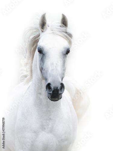 Fototapeta snowy white arabian stallion against the white background obraz