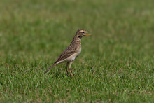 Bird In Green Field..Beautiful Migratory Bird ,richard Pipit Standing On Green Meadow Field With Mouth Open Wide ,side View..