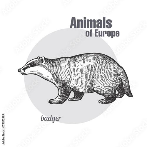 Vintage engraving of animal badger. Wallpaper Mural