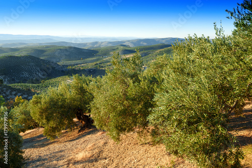 Tuinposter Olijfboom olive groves of Jaen,Andalusia,Spain