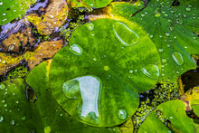 Water Lily Leaves With Water Drops, Closeup. Green Waxy Leaves Floating On Water, After Rain.