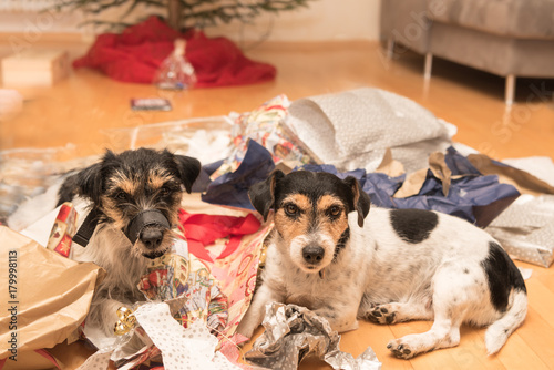 Valokuvatapetti Christmas dogs after unpacking the gifts - jack russell terrier
