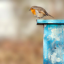Robin Sits In The Sunshine On Blue Birdhouse