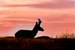 Pronghorn Buck Silhouetted at Sunset