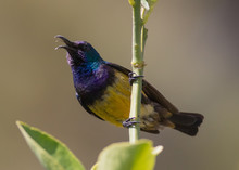 Yellow-bellied Sunbird Singing