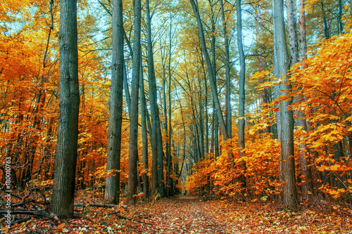 Stickers pour porte Orange eclat autumn trees in the forest