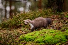 Pine Marten Rare Species In Na...
