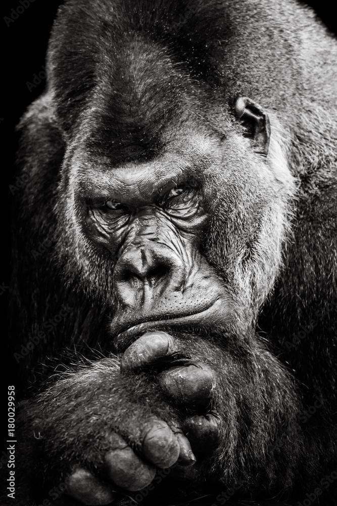 Fototapeta Western Lowland Gorilla BW II