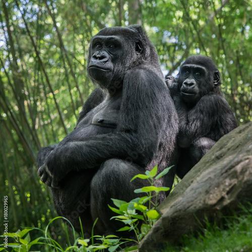 Photo Western Lowland Gorilla Family