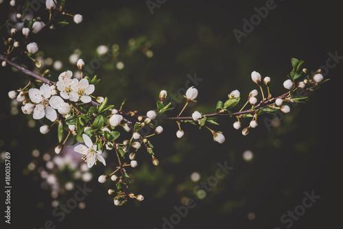 Flowering spring twig