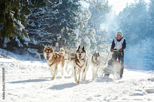 husky sled dog racing Canvas Print