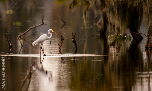 Great Egret with Fish фототапет