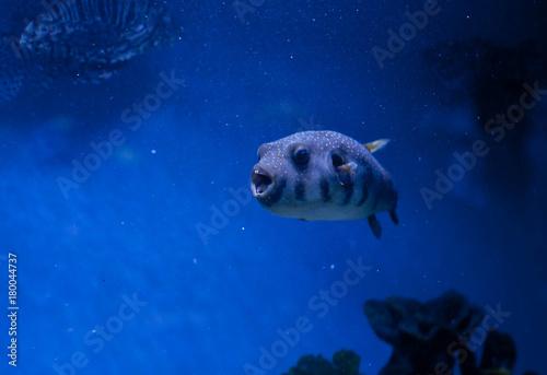 Plakat duża ryba pod wodą w oceanie