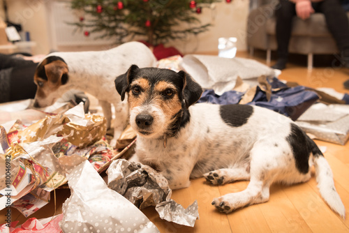 Photo Christmas dogs after unpacking the gifts - jack russell terrier