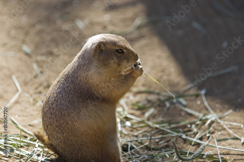 Fotografie, Obraz  Prairie Dog Eating
