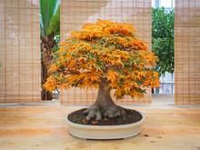 Red Scarlet Bonsai Maple Tree ...
