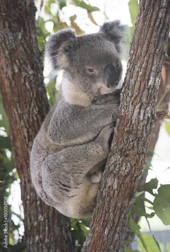 Canvas Prints Koala Koala resting at the top of an Australian gum tree.