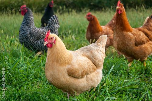 Free range chickens