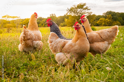 Cadres-photo bureau Poules Chicken Sunset