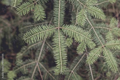 Closeup of Balsam Fir Branches Canvas Print