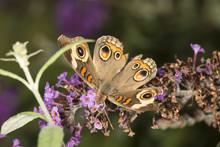 Buckeye Butterfly On Purple Fl...