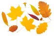 autumn background of fall leaves on white background.