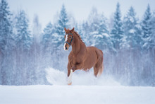 Beautiful Red Horse Running In...