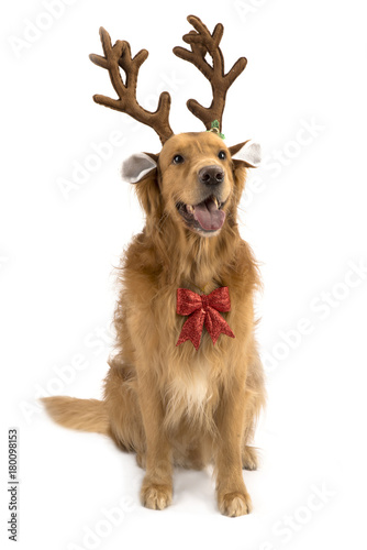 New Year Christmas Dog Breed Golden Retriever Red Bow Deer Antlers White Background Isolate Shaggy Red Two Thousand Eighteen Buy This Stock Photo And Explore Similar Images At Adobe Stock