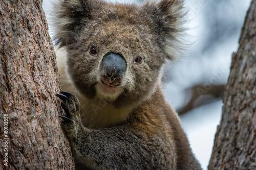 Garden Poster Koala Closeup of wild Koala near Lorne, Australia