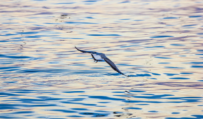 FototapetaEvening Bird over wild sea