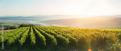 Foto auf Gartenposter Weinberg Extra wide panoramic shot of a summer vineyard shot at sunset