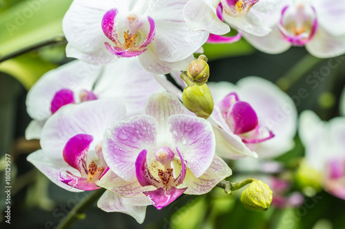 beautiful-white-and-purple-orchids-phalaenopsis