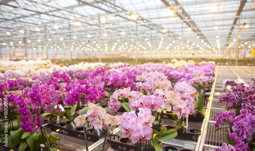 Fotobehang Orchidee Pink orchids in glass house
