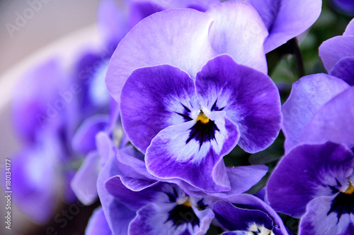 Canvas Prints Pansies Pansy - Viola x wittrockiana.