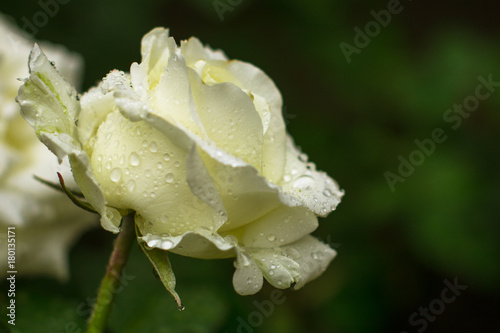 beautiful-white-rose-and-water-drops-on-the-petal-of-roses-against-the-background-of-green-bushes-in-the-garden