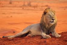 Lion Lying In Tsavo National P...