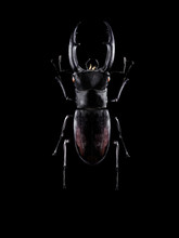 Stag Beetle On Black Background