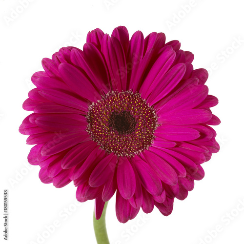 Fotobehang Gerbera Single gerber